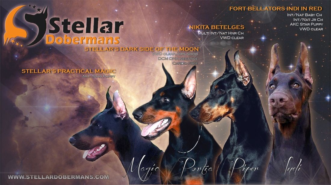 Stellar Dobermans - Home